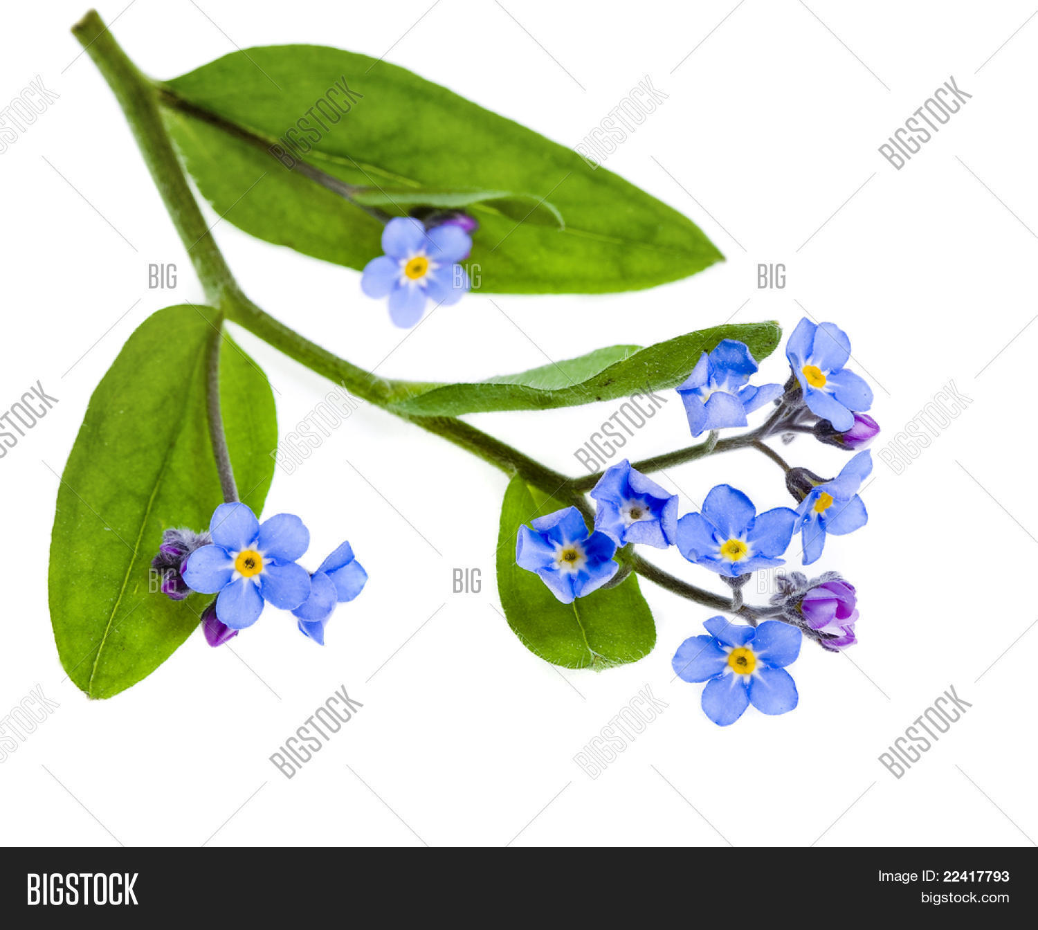 Spring Flowers Field Forget Me Not Myosotis Arvensis Isolated