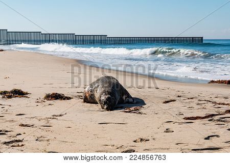 A dead sea lion on the beach at Border Field State Park, near the international border wall between San Diego, California and Tijuana, Mexico. stock photo