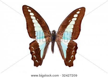 Graphium sarpedon connectens butterfly isolated on white stock photo