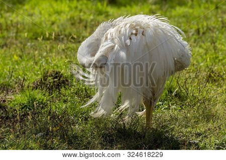 The greater rhea (Rhea americana)  one of two extant species,  native greater bird of eastern South America, related to the ostrich and emu. Near Threatened species. stock photo