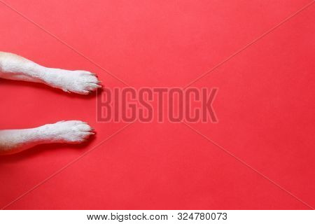 Above, Animal, Background, Banner, Canine, Christmas, Claw, Closeup, Copy, Copy Space, Design, Dog,