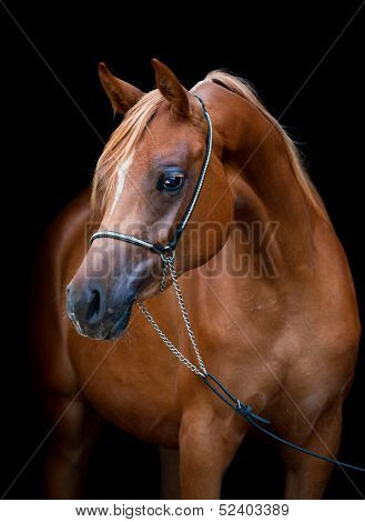 Chestnut horse portrait isolated on black background, Arabian filly.-Lg Fridge Magnet Skin (size 36x65)