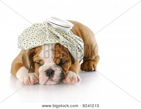 english bulldog puppy with hot water bottle on head with reflection on white background stock photo