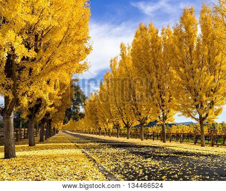 Yellow gingko trees line road in Napa Valley, California in autumn. Tree lined street in fall. Yellow gingko leaves cover the road. White clouds with blue sky create long shadows across the road. Napa vineyard at harvest time.