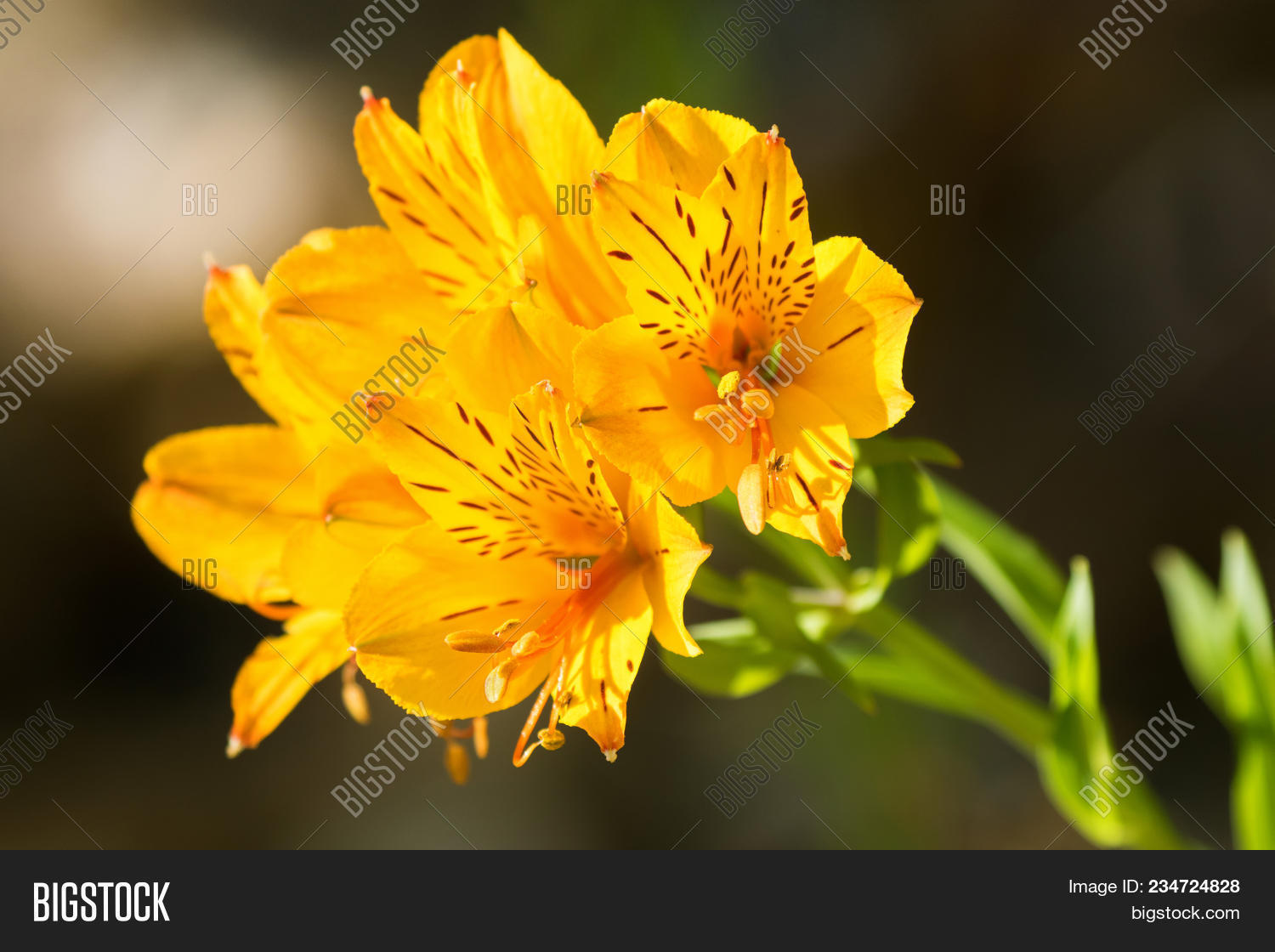 Alstroemeria Flowers In Yellow Color Also Called Peruvian Lily