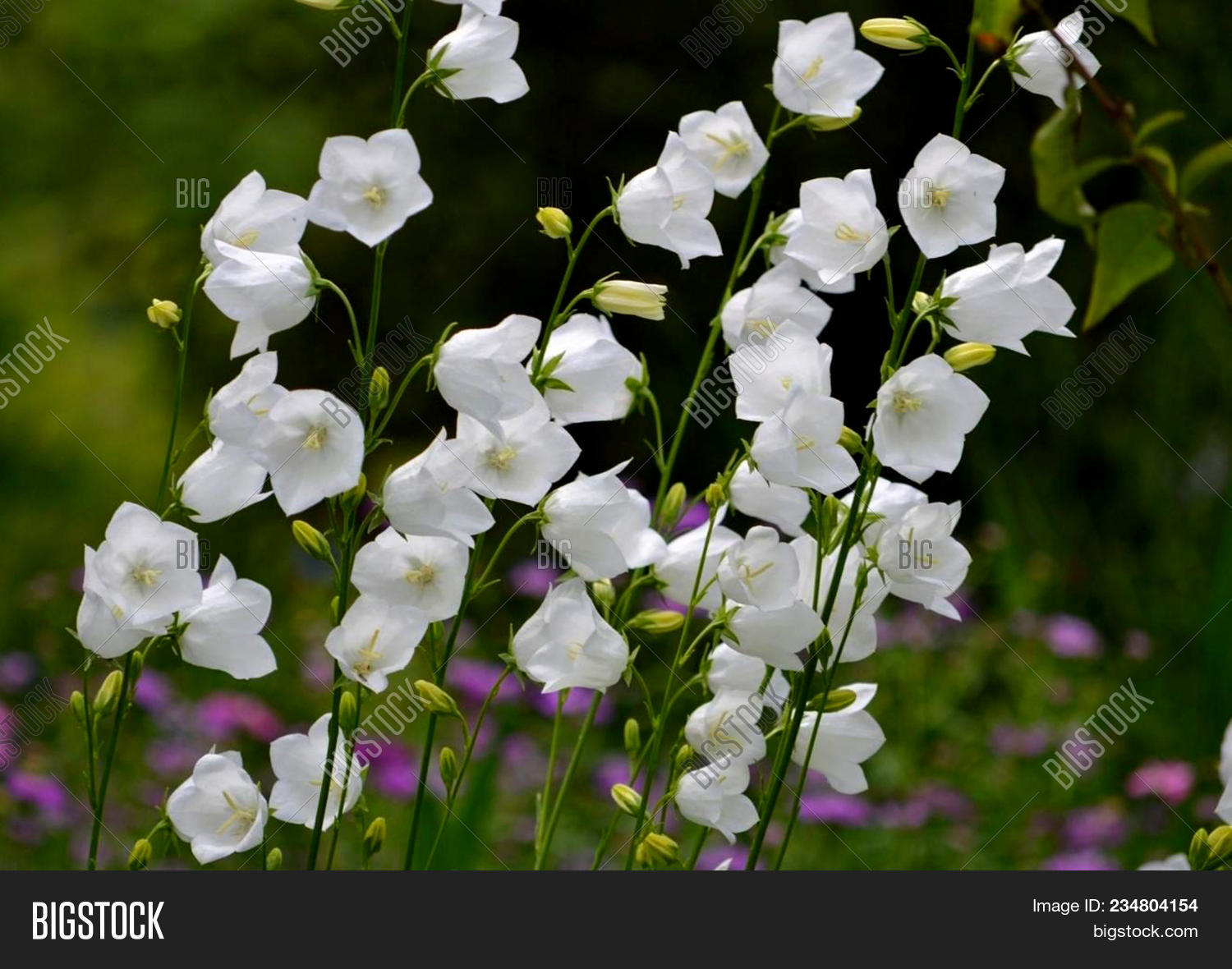 White Bell Flowers Campanula Persicifolia As Background