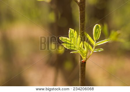 Rowan tree leaf isolated on a blur background. stock photo