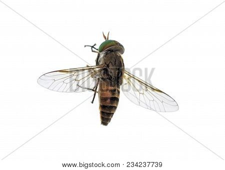 Top of a horse-fly, a true fly in the family Tabanidae in the insect order Diptera. They are often large and agile in flight, and the females bite animals, including humans, to obtain blood stock photo