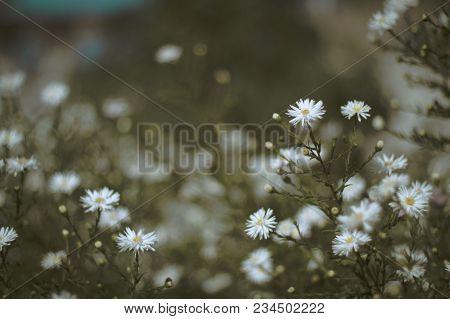 Chamomile, Colorful Flower. Flower Pattern. Flower Background. Flower Bouquet. Flower Garden.