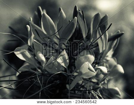 Spider flower. Monochrome. Floral background. Garden flower. Monochrome flower. Cleome hassleriana. Cleome. stock photo