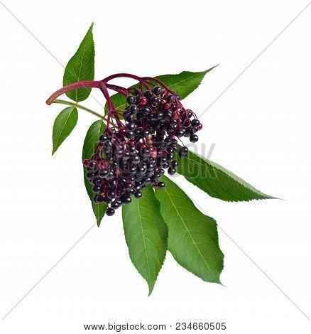Sambucus . Common names include elder, elderberry, black elder, European elder, European elderberry and European black elderberry. stock photo