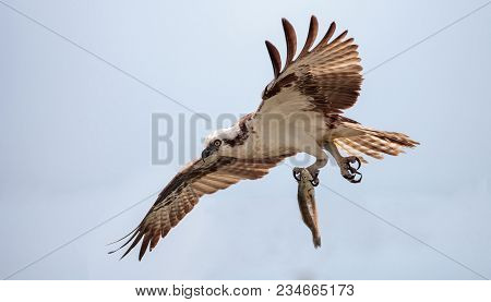 Osprey bird of prey Pandion haliaetus flying across a blue sky with a fish over Clam pass in Naples, Florida in the morning. stock photo