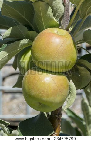 Small newly formed Waltz apples (Malus Domestica) growing in their natural garden setting. Very shallow focusing on just the main two apples. stock photo