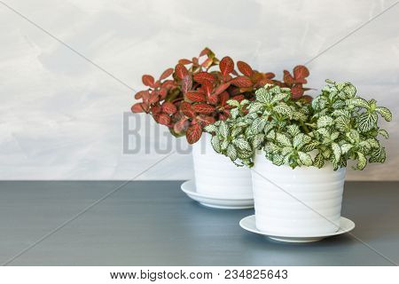 houseplant fittonia albivenis in white flowerpot stock photo
