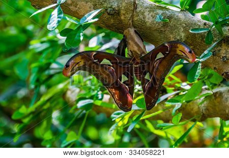 closeup of a atlas moth, colorful big insect specie from the forest of Asia, tropical pet stock photo