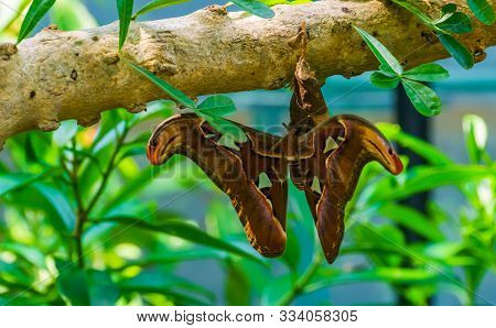 Atlas moth in closeup, beautiful and colorful insect specie from Asia, tropical pet stock photo