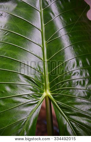 Green leaves pattern texture background giant taro leaf araceae / plants water weeds in tropical forest - ear elephant leaf Alocasia Indica stock photo