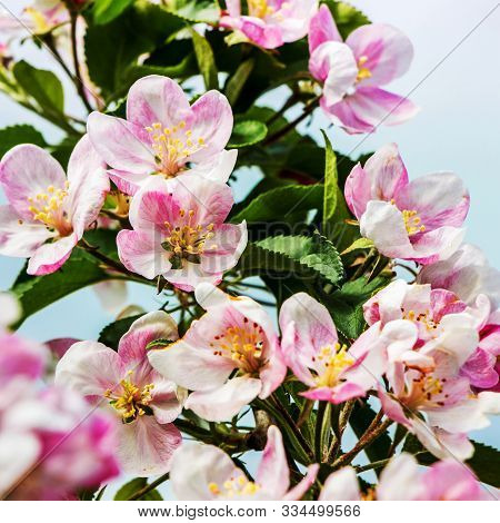 Pink flowers of apple  on light blue background. Spring background stock photo