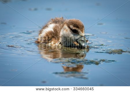 Egyption gosling eats floating weeds in river stock photo