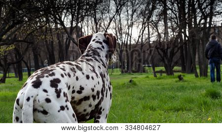 adult spotted dog breed Dalmatian looks at the leaving man stock photo