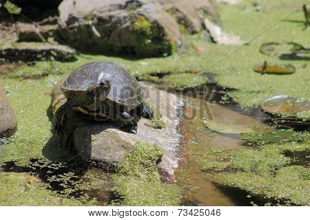 The red-eared slider (Trachemys scripta elegans), also known as red-eared terrapin, is a semiaquatic turtle belonging to the family Emydidae. stock photo