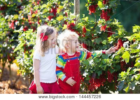 Little girl and boy picking fresh ripe berry from red currant bush in sunny summer garden. Healthy nutrition for kids. Bio fruit for children. stock photo