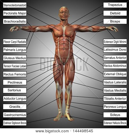 Concept or conceptual 3D illustration of a male or human anatomy, a man with muscles and text on gray gradient background  stock photo