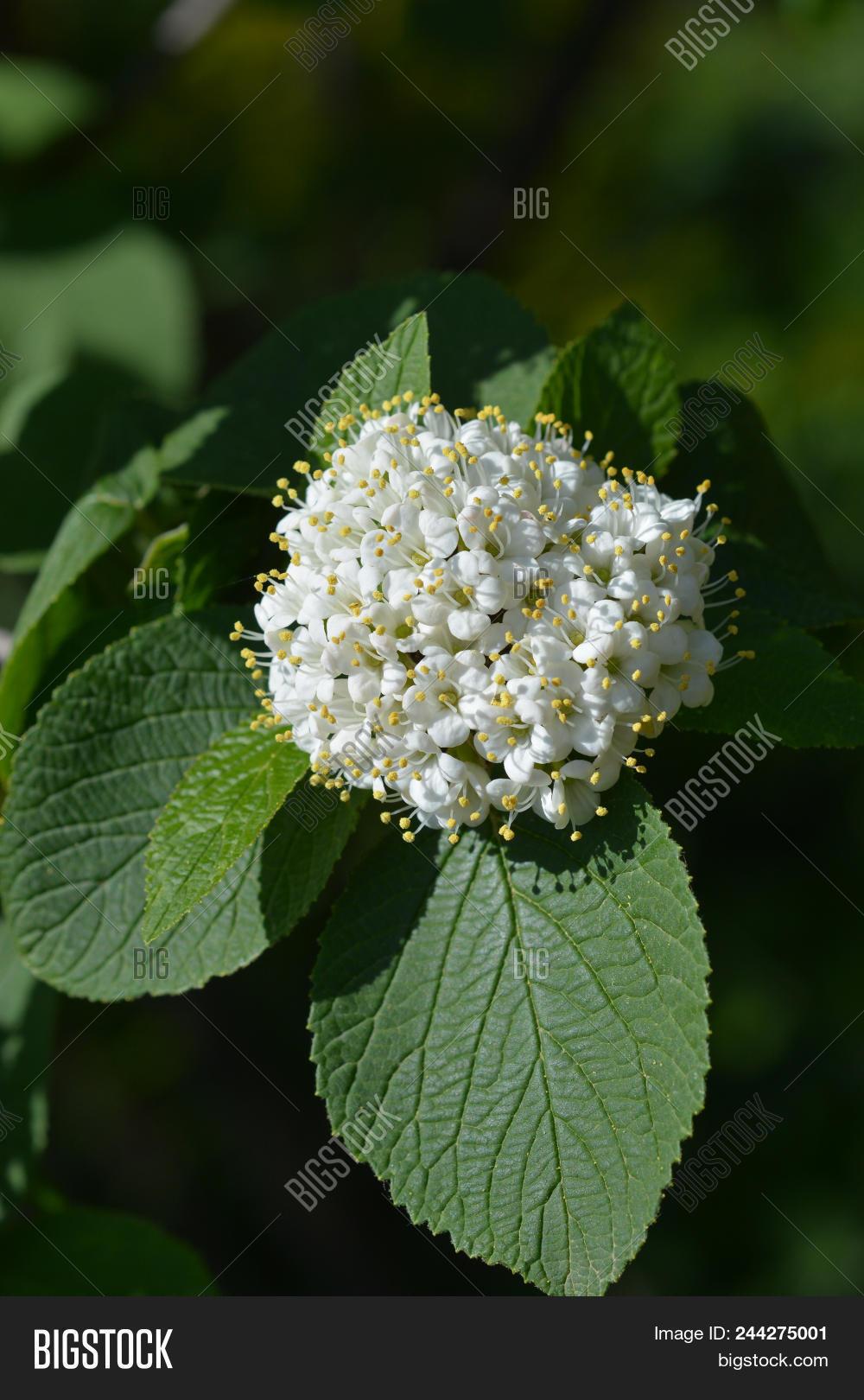 Wayfaring Tree White Flowers Latin Name Viburnum Lantana