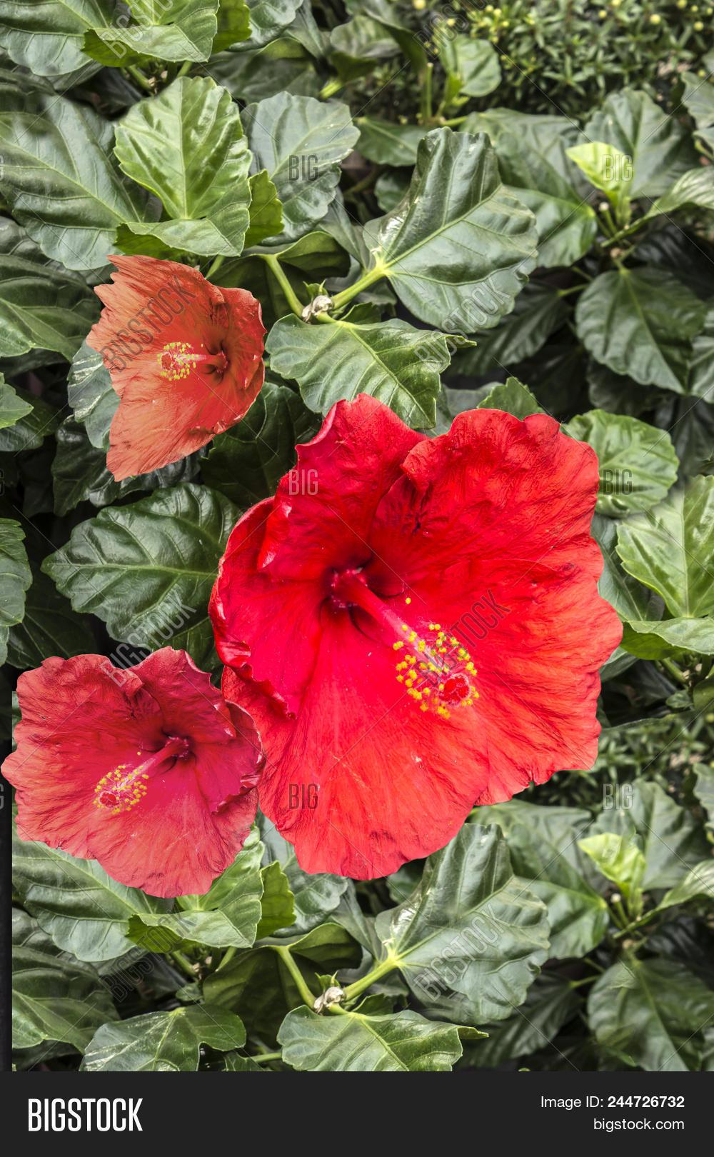 Red Hibiscus Flowers China Rose Chinese Hibiscus Hawaiian