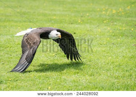 The majestic wingspan of a bald eagle flying low over the ground looking for prey stock photo