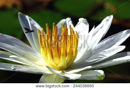 A TASTY SNACK: A bee flying into the center of a yellow and white water lily, Florida stock photo