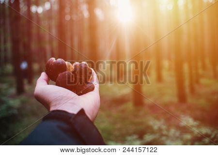 Close up on bay bolete ( Imleria badia ) in forest on hand, sunrise stock photo