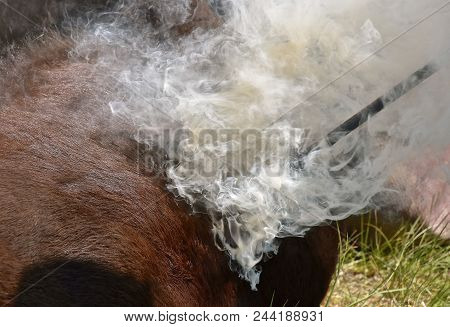 A Red Hot Iron Placed On The Hide Of A Calf Results In The Hair Burning And Smoking During The Brand