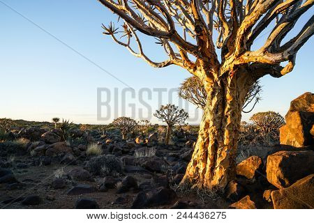 Morning sun hits cracked bark of aloe quiver tree and rugged rocky terrain of Quiver Tree Forest, Keetmanshoop,Namibia. stock photo
