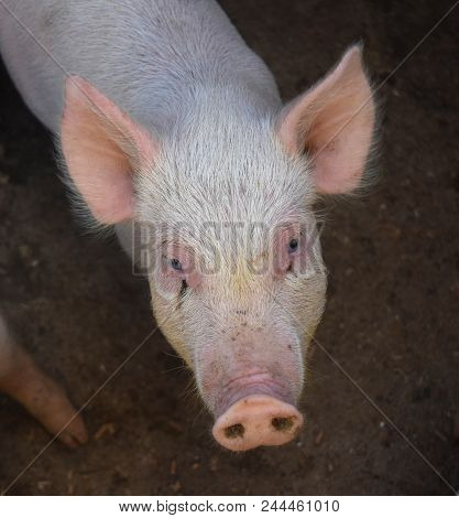 Adorable piglet with a pink snout and pointy ears. stock photo