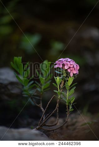 Small shrub of rose daphne or garland flower, Daphne julia or Daphne cneorum. A tiny bush with tender pink flowers is pictured in soft colors on blurred background stock photo
