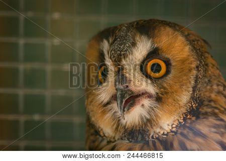 Eurasian eagle-owl or Bubo bubo in cage. stock photo