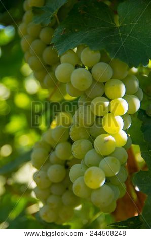 Viticulture. Chardonnay grape variety used in the production of white wine. stock photo