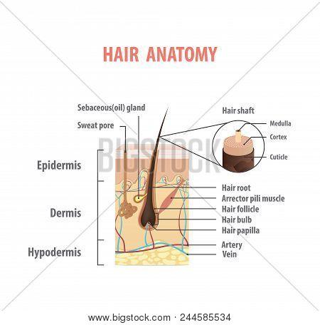 Hair anatomy illustration vector on white background. Madical concept. stock photo