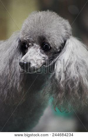 blue poodle Hairstyle groomer professional day light stock photo