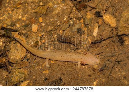 Larval Blue Ridge Red Salamander (Pseudotriton ruber nitidus) stock photo