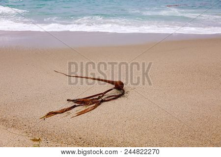 Bull Kelp. Bull Kelp Sea Weed on the beach with ocean waves and tide. Seaweed on the sand. stock photo