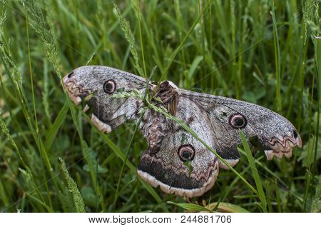 Saturnia pyri female giant peacock moth with injured wing on green grass meadow background stock photo