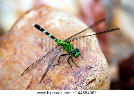 A closeup photo of a common green darner on tan colored rock stock photo