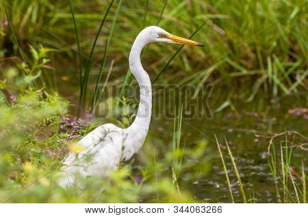 The great egret (Ardea alba), also known as the common egret, large egret or great white heron standing on fallen trees in the swamp Yala National park, Sri Lanka. stock photo