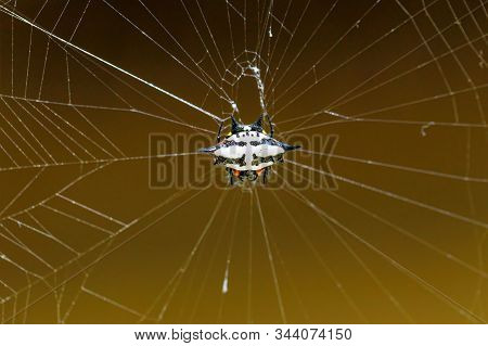 Spiny orb-weaver, genus Gasteracantha, Gasteracantha versicolor, called crab spider in Masoala National park, Africa, Madagascar wildlife and wilderness stock photo