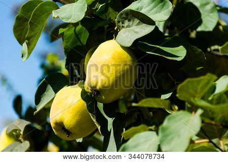 Apple tree.Harvest in Turkey.Autumn apple variety.Green Garden. Farm in Selcuk,Turkey.Apple orchard.Eco farm.Ripe fruits on branch.Big natural apples.Fruits with place for text.Harvesting.Green apples stock photo