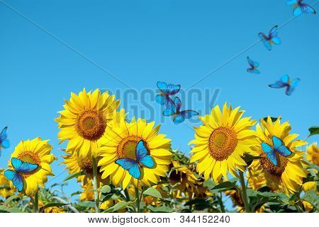 blooming sunflower against the blue sky.  copy spaces. beautiful blue butterflies flying among the flowers. morpho butterflies on flowers stock photo