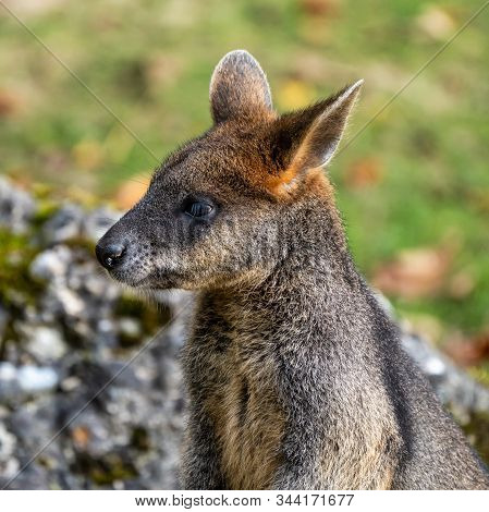 Swamp Wallaby, Wallabia bicolor, is one of the smaller kangaroos. This wallaby is also commonly known as the black wallaby stock photo