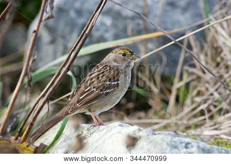 Golden-crowned sparrow stands on white rock amongst grasses and twigs, Island View Beach, Vancouver Island, British Columbia stock photo